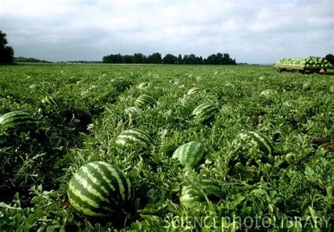 Best Images About Watermelon Fields On Pinterest