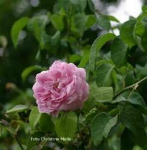 alte rosensorten stark duftend rosensorten duftrosen gro gros choux de hollande gros