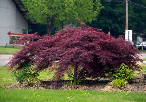 japanese maple majestic purple plants for your garden crasstalk