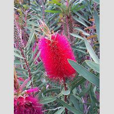 Callistemon  Australian Native Plants 2 Pinterest
