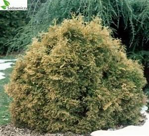 Lebensbaum Wird Braun : abendl ndischer lebensbaum thuja occidentalis 39 ericoides ~ Lizthompson.info Haus und Dekorationen
