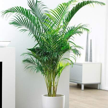 best 25 indoor palm trees ideas on palm house plants artificial indoor plants and