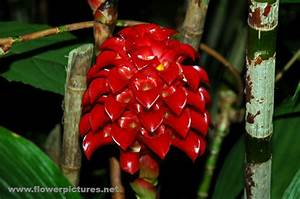 Pictures Of Flowers  Indonesian Wax Ginger