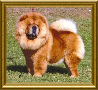 kuteaz chow chows chow chow breeders dogs pet