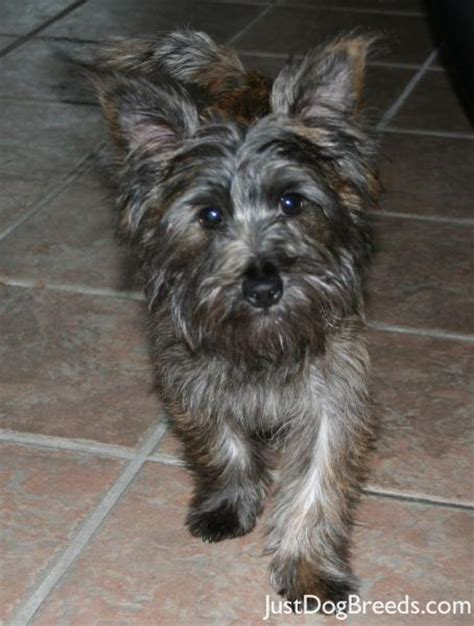 Cairn Terrier Non Shedding Dogs by Cairn Terrier Hypoallergenic Breeds Picture