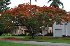 Laubbaum Mit Roten Blättern : flammenbaum wikipedia ~ Frokenaadalensverden.com Haus und Dekorationen