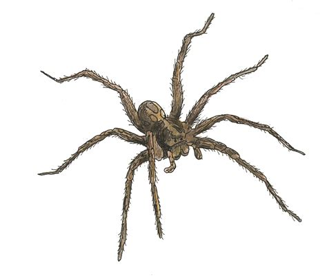 what does a wolf spider look like wolf spider identification