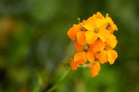 wallflower start flowers bloom erysimum botanical annuals perennial plant class summer wall