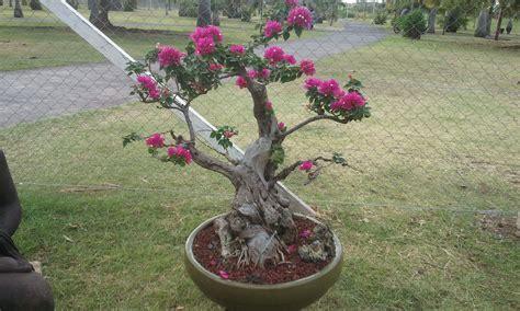 comment faire fleurir un bougainvillier en pot expo mes bonsa 239 s 224 la r 233 union