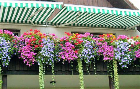 balkon blumen hängend balkonpflanzen schattiger standort dahlien pflanzen tipps