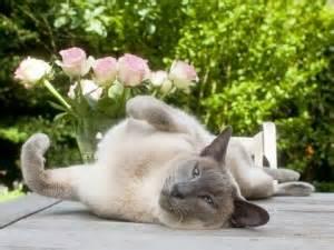 gatte persiane la gatta 232 in calore cosa fare quanto dura