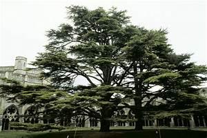 Trees Planet: Cedrus libani – Cedar of Lebanon