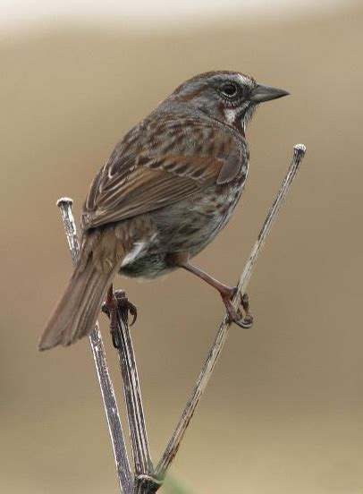 song sparrow the national wildlife federation blog