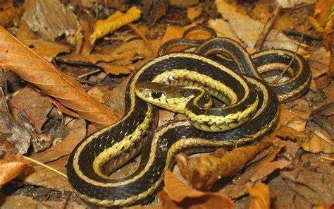 Cape Ann Vernal Pond Team - Charming Snakes