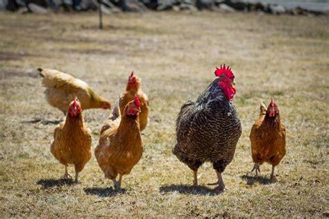 Understanding Common Poultry Diseases In Kenya Today