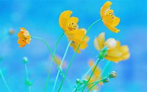 Blue Background Yellow Flowers Wallpaper
