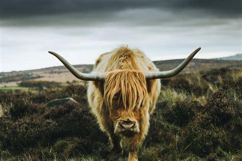 brown yak  stock photo