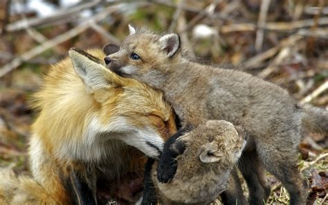 Animal Cubs Wallpapers - fox with cubs wallpaper animal wallpapers 45628