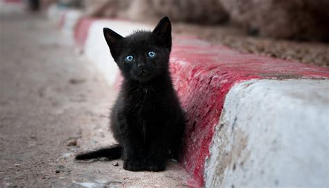 bad luck cats why think witch kitten kqed eyes pop ages according possible middle british app