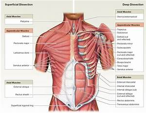 The Muscles Of The Abdominal Wall Learn For Lab