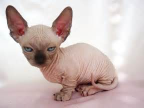 baby hairless cats sphynx cat kittens wallpaper