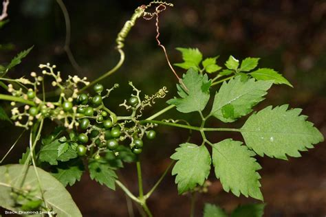 cayratia clematidea slender grape   rights