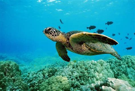 turtle sea swimming reef ocean turtles tunnel wind snorkeling maarten st pic cute flow carey michael team credit flickr banner