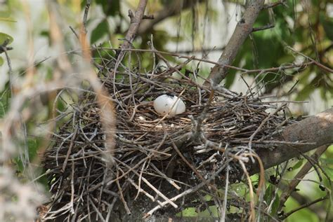 looking for mourning dove egg hatching incumaker