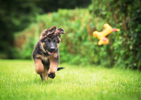 duitse herdershond puppy info geschiedenis karakter