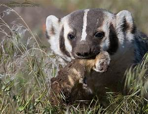 An American Badger and Long-tailed Weasels – Mia McPherson ...