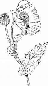 Poppy Coloring Pages Poppies Drawing Supercoloring Flower Opium Printable Colouring Nature sketch template