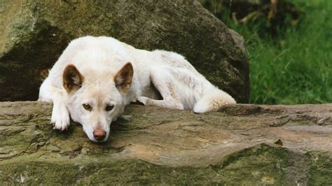 australian dingo wallpaper  background image