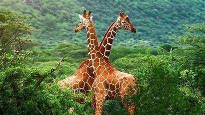 Giraffe Wallpapers Zarafa Desktop Giraffes Background Animal