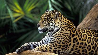 Wild Animals Wallpapers Wallpapercave Animal Leopard Cave