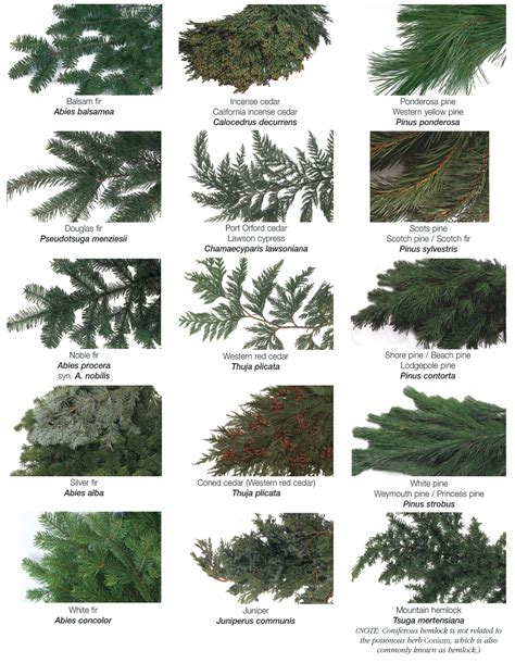 how to identify different evergreen trees 30 second scouting