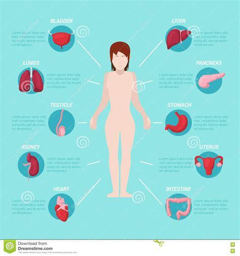 Corpo Umano Con Organi Interni Schema Medico Di Anatomia Corpo Umano Con Gli Organi