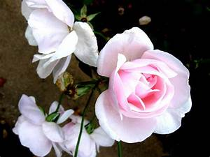 Beautiful Rose in the World