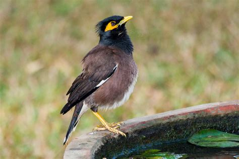 bird spots in southern india common myna birding101 co za
