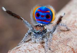Meet The Handsome Peacock Spider: The Prettiest & The Best ...