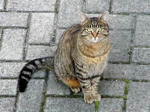 Katte - Wikipedia  Domestic