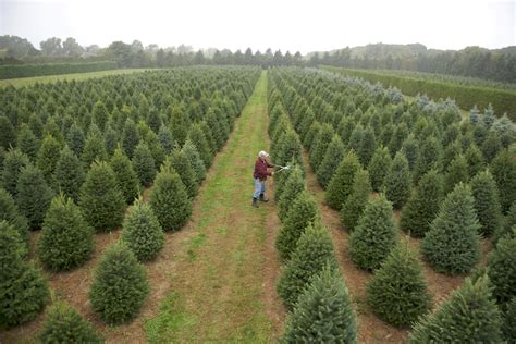 a christmas tree farm grows in mattituck edible east end