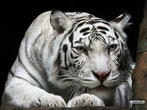 Image Gallary Beautiful White Tiger Wallpapers For