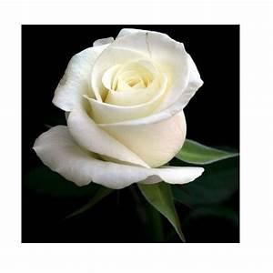 White Rose, वाइट रोज, सफ़ेद गुलाब - ARMD Flowers & Plants ...