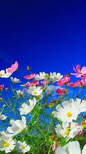 Pink flowers Flowers Nature Cosmos flower White flowers HD ...