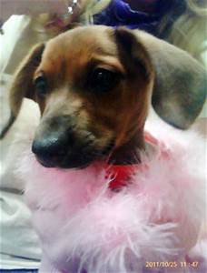 fashionista girl is a 2 month old doxie and beagle blend id