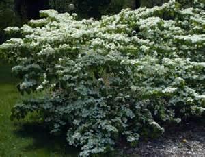 Sweet Viburnum Tree