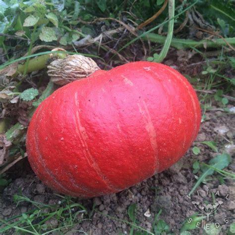 Squash, Winter - Red Kuri (Organic)   Vital Seeds