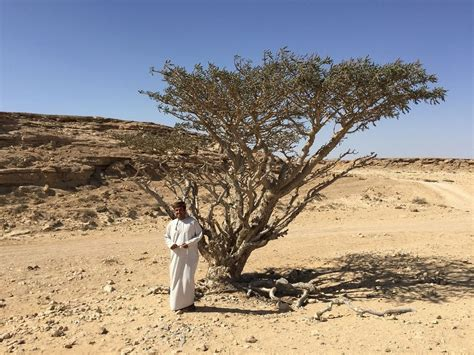 growing frankincense the frankincense trees of wadi dawkah