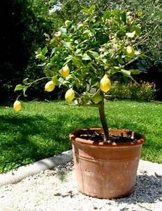Planter Un Citronnier : cultiver des agrumes en pots potager pinterest ~ Melissatoandfro.com Idées de Décoration