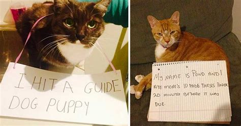 30 Troublemaking Cats That Should Feel Bad But Could Care